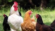 Kırşehir Yarka Tavuk Satışı