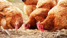 Erzincan Yarka Tavuk Satışı