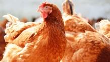 Kilis Yarka Tavuk Satışı