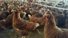 Ordu Yarka Tavuk Satışı
