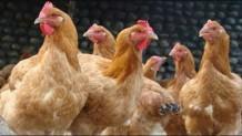 Yarka Tavuk Taşımacılığı