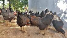 Hakkari Yarka Tavuk Satışı