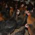 Yarka & Tavuk Sağlığı